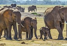 A herd of elephants | Commons