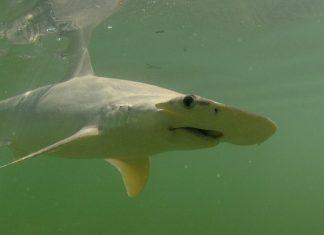 Omnivorous shark   Getty Images