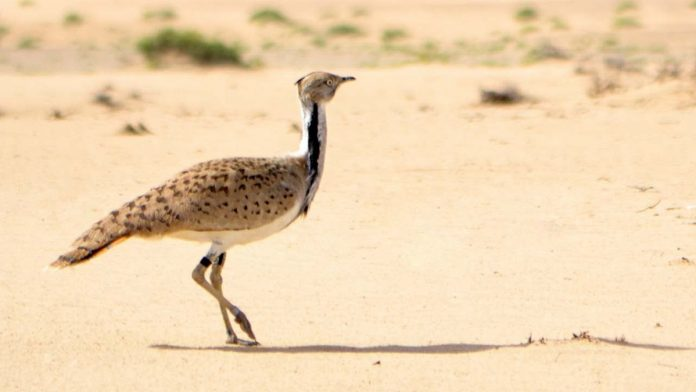 Houbara bustards is a rare, vulnerable species | YouTube
